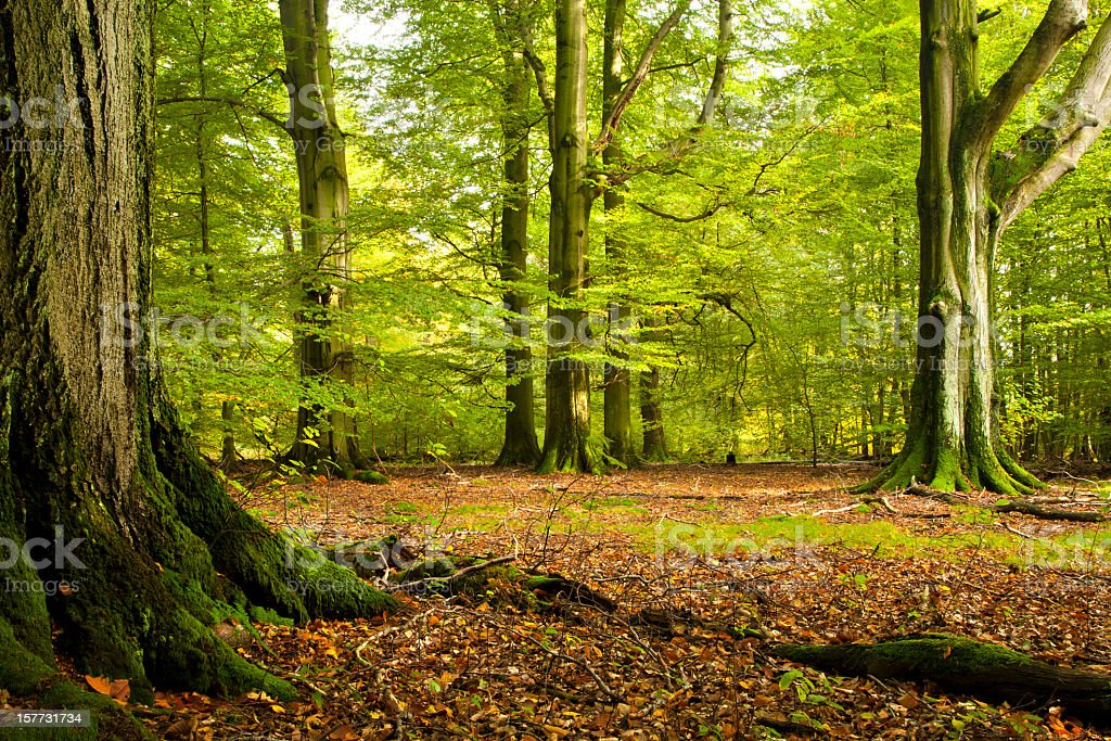 Green Forest of Old Beech Trees stock photo