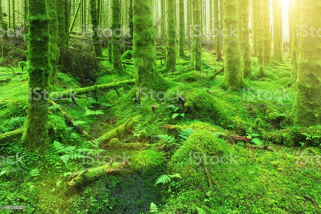 Green forest of trees, trunks covered by moss, sunlight stock photo