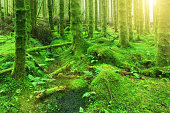 Green forest of trees, trunks covered by moss, sunlight