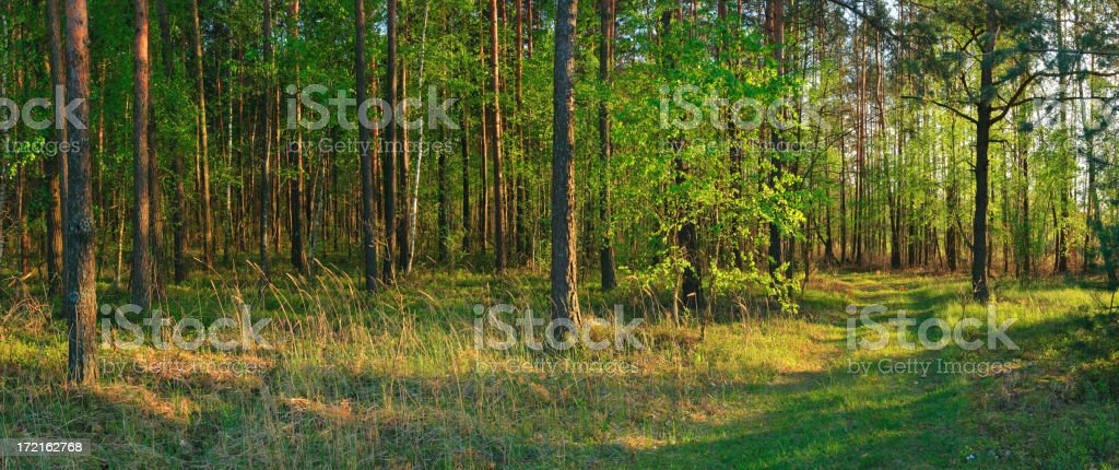 XXXL Green Forest - Panorama royalty-free stock photo