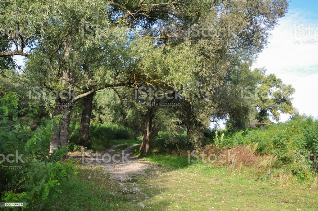 Green forest with high trees and little lake in it. Summer walking stock photo