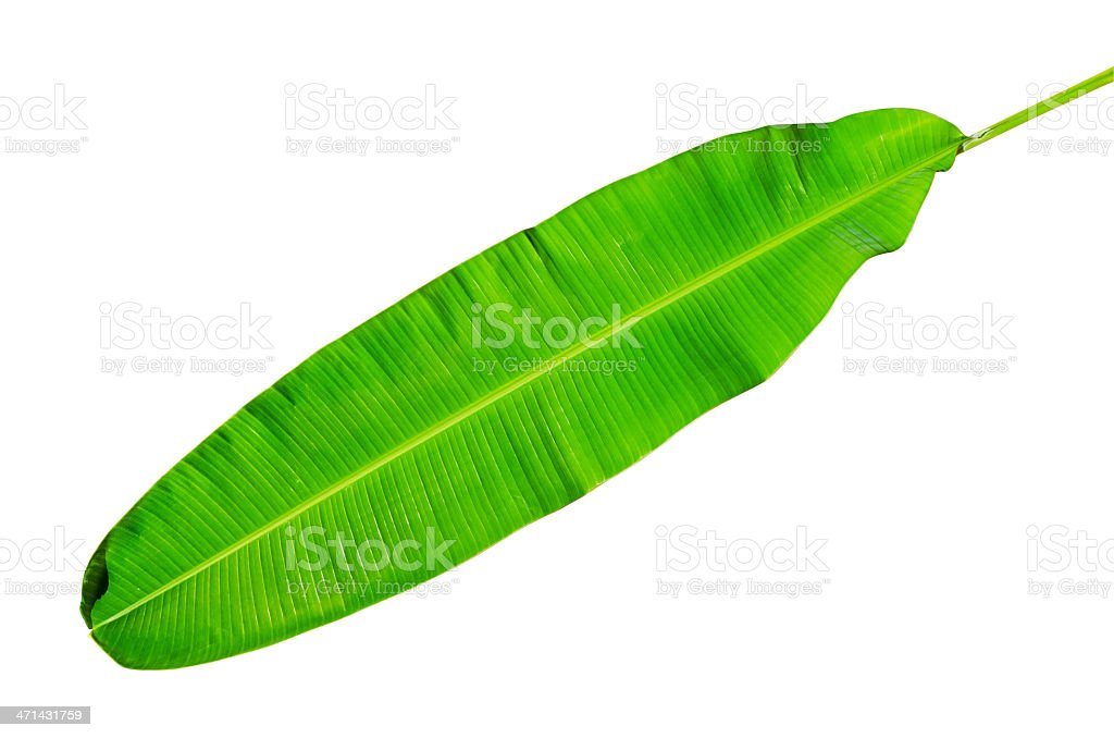 Green fresh banana leaf isolated with clipping path. stock photo