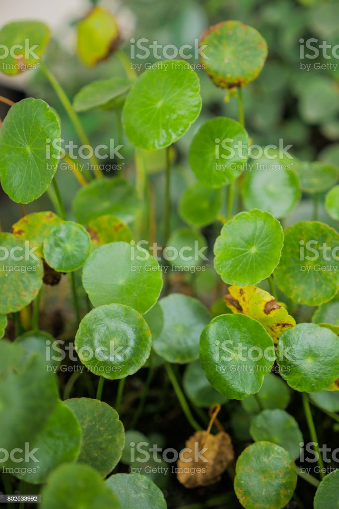 Green Fresh Gotu kola, Asiatic pennywort, Indian pennywort stock photo