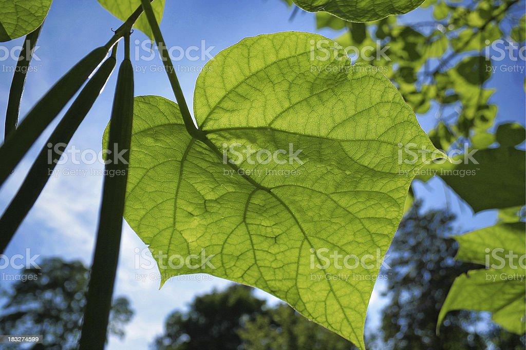 green fresh leaf on blue sky royalty-free stock photo