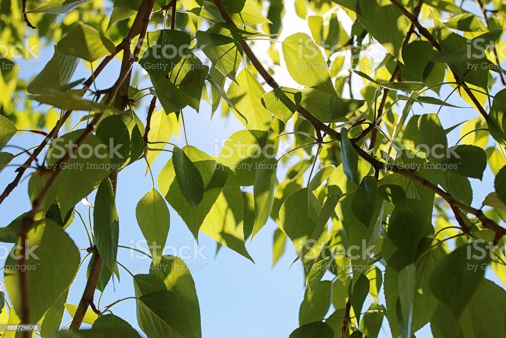 Green fresh leaves of trees on clear blue sky stock photo