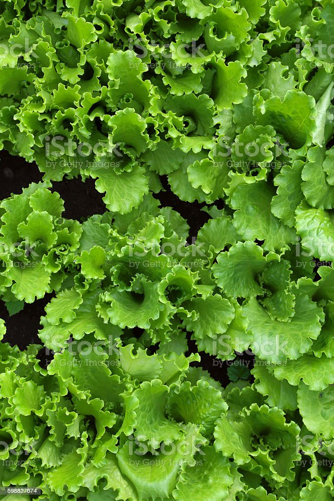 Green fresh lettuce salad leaves at the garden, top view stock photo