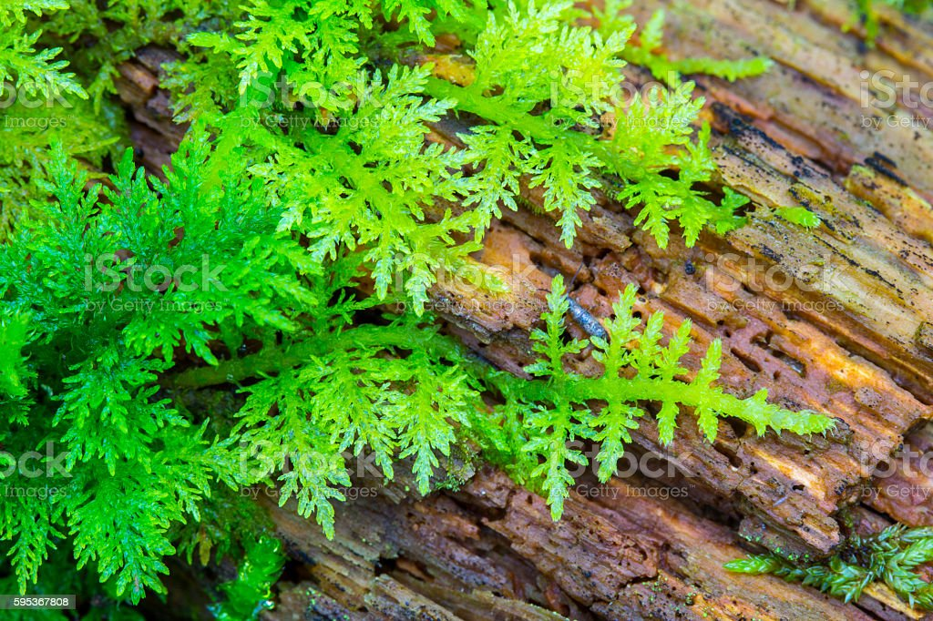 Green fresh moss on olds wood in deep forest. stock photo