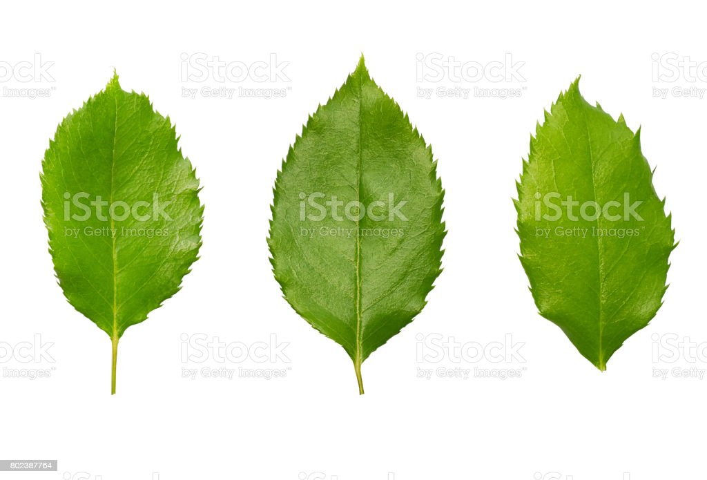 Green fresh rose leaves set isolated on white background. stock photo