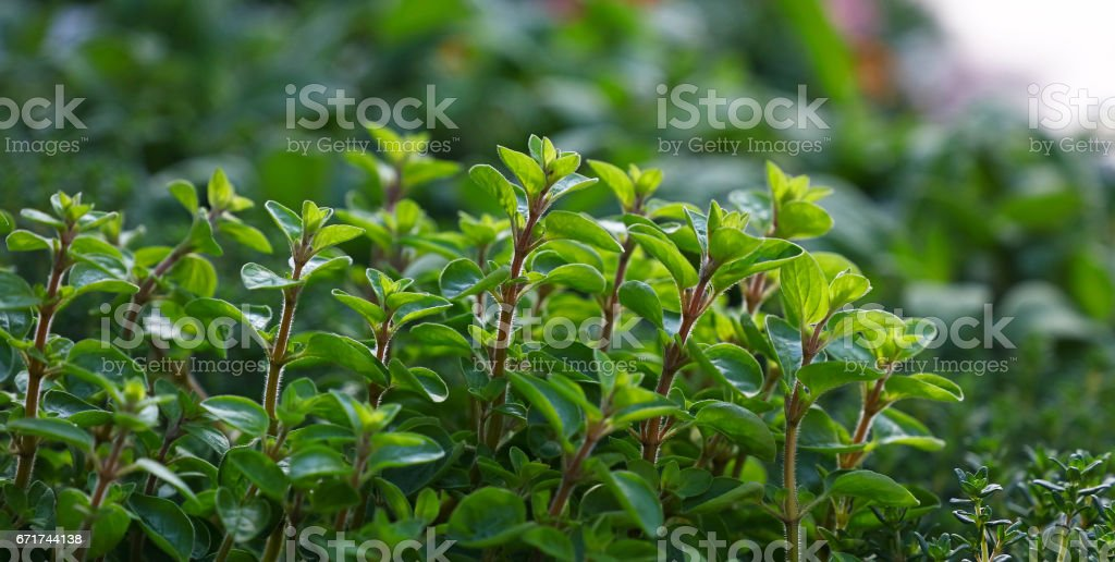 Green fresh sweet marjoram spicy herb sprouts stock photo