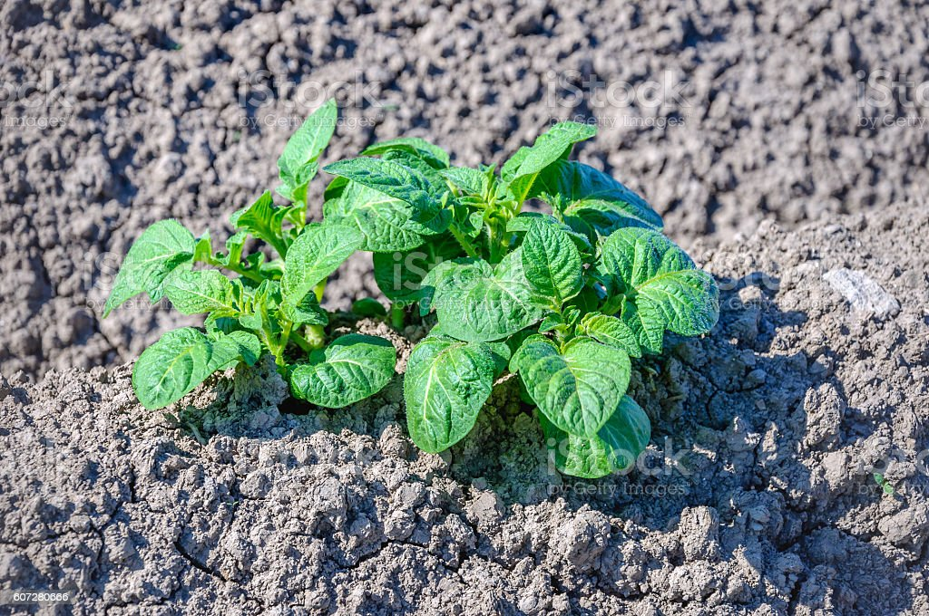 Green fresh young potato plants growing in dry clay soil stock photo