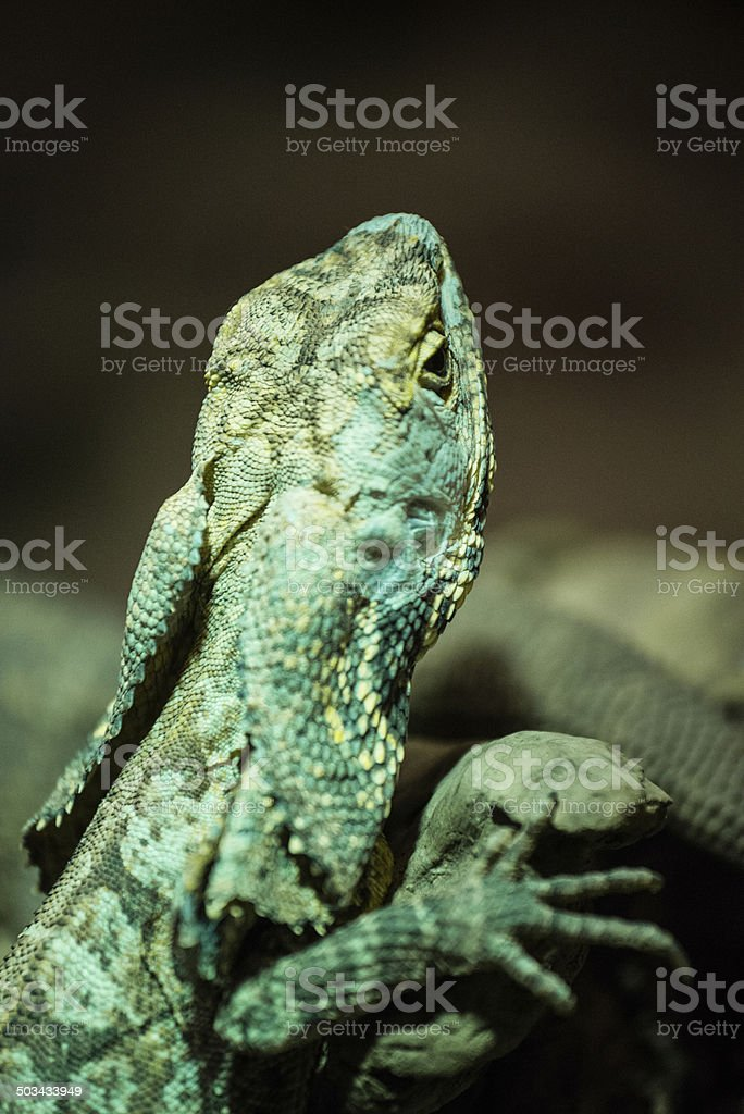 Green Frilled Lizard climbing on rocks at dusk in nature stock photo