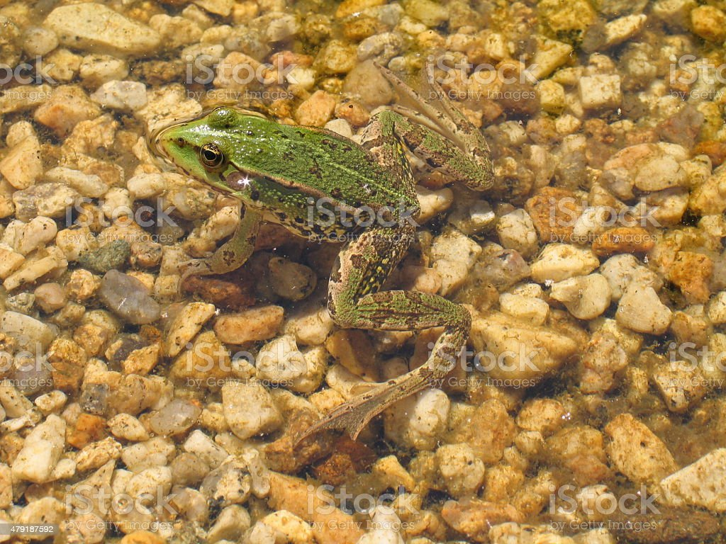 Green frog basking in the pond - species Pelophylax esculentus stock photo