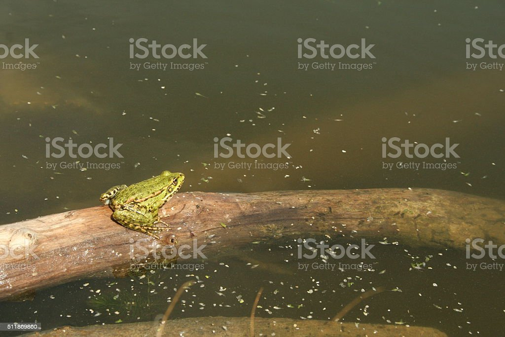 green frog basking in the sun on the stick stock photo