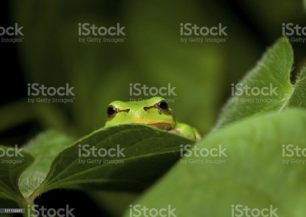 Green frog curious peek stock photo