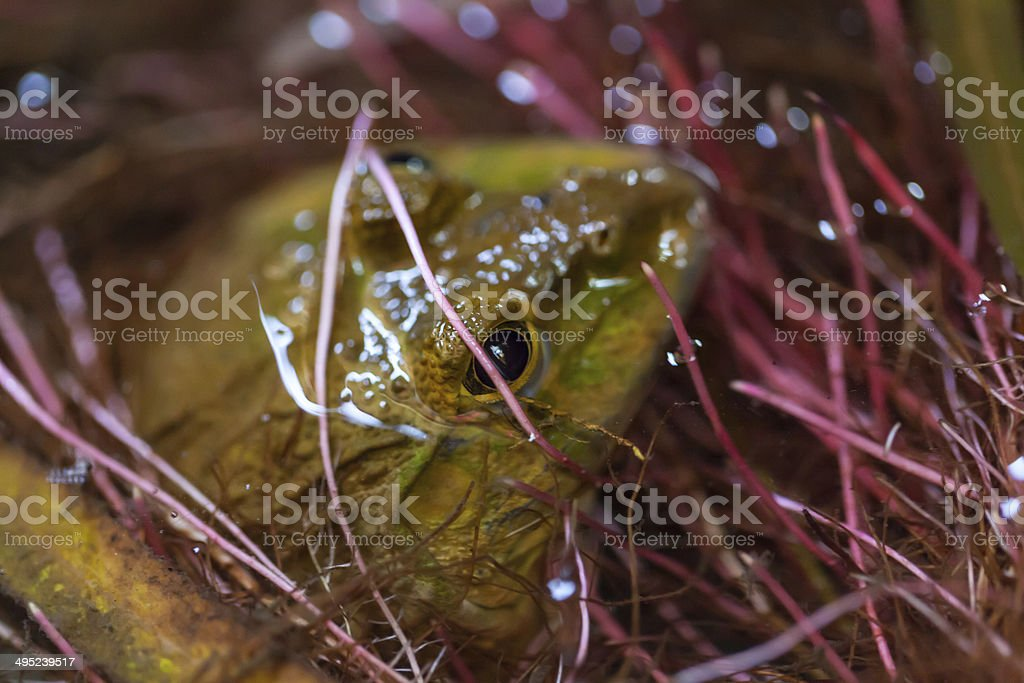 Green frog in a pond royalty-free stock photo