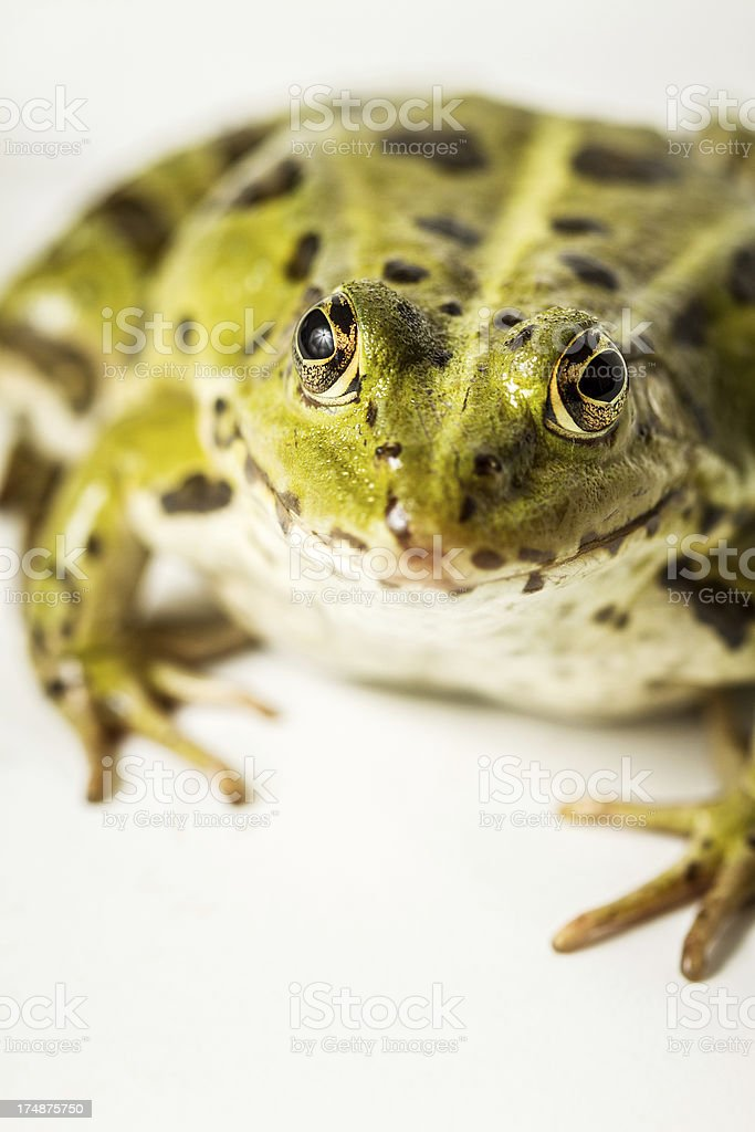 Green frog looking at you stock photo