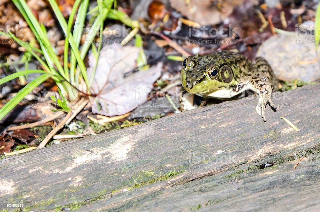 Green frog lying between nature and wooden plank stock photo