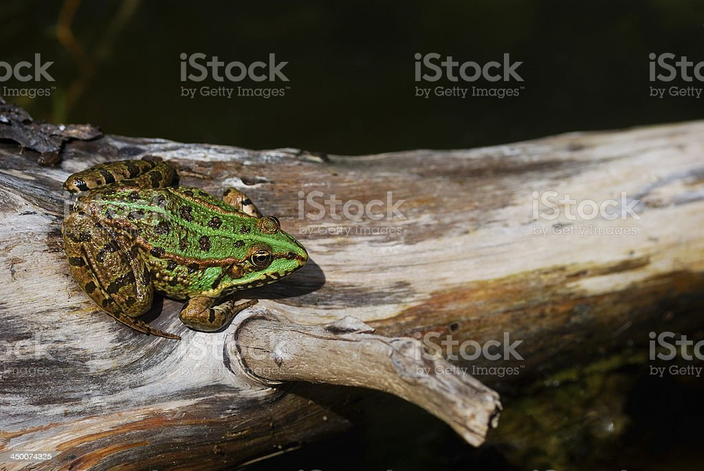 green frog on a tree royalty-free stock photo