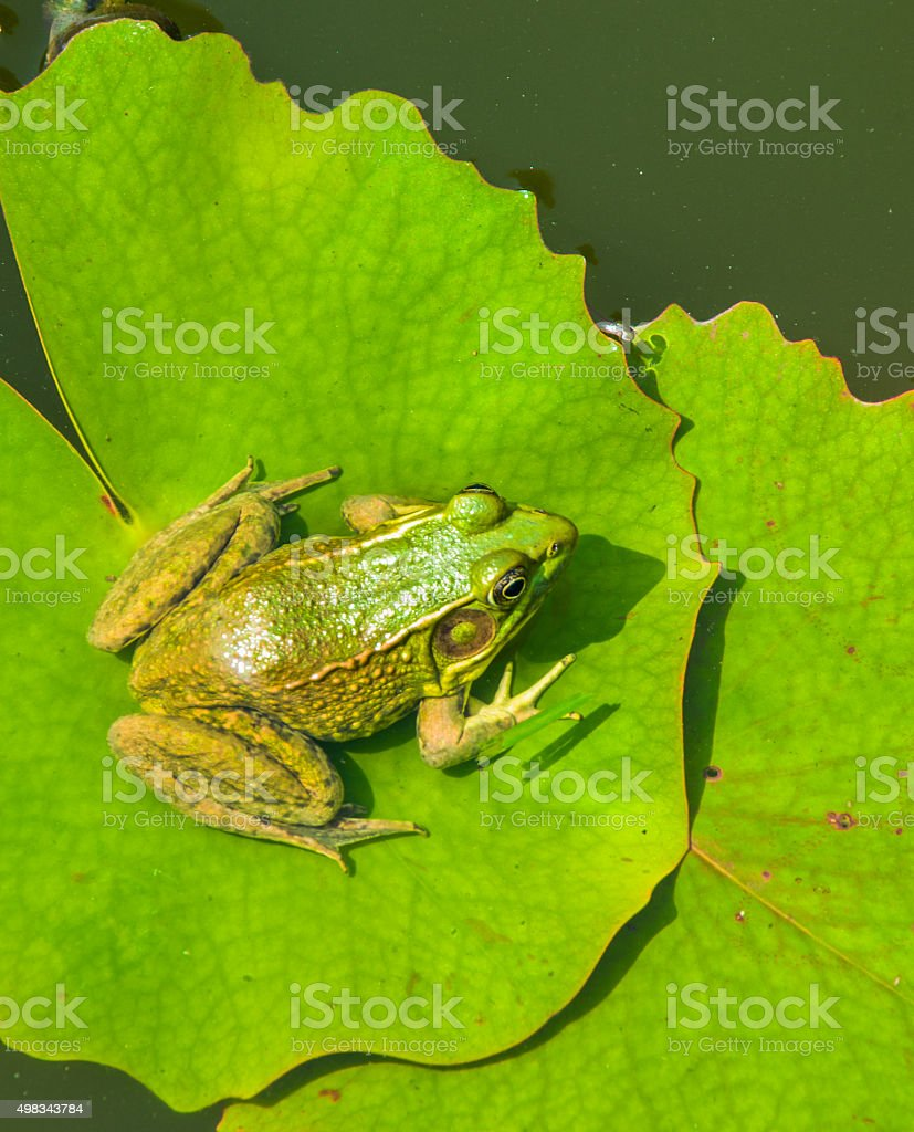 Green Frog on Lily Pad stock photo