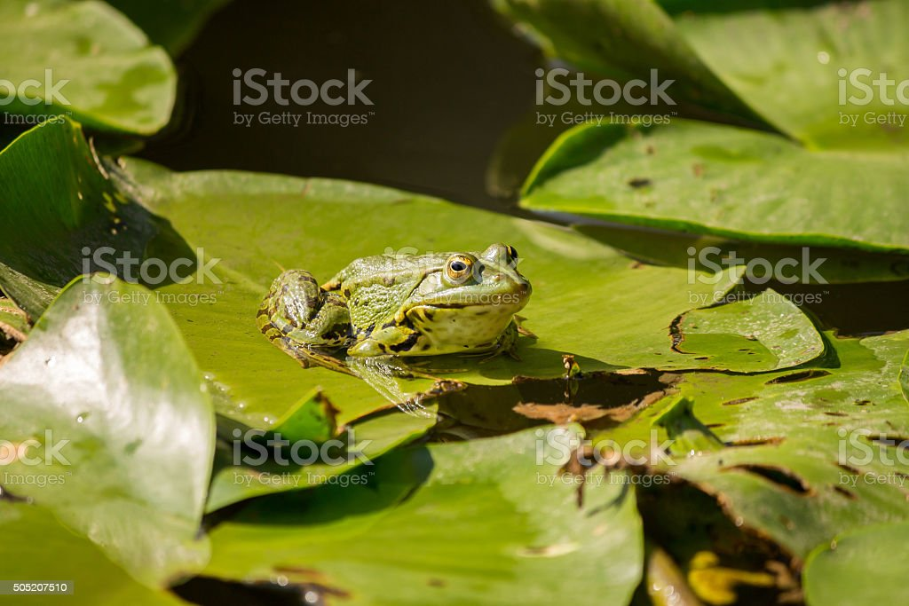 Green frog on lily pads stock photo