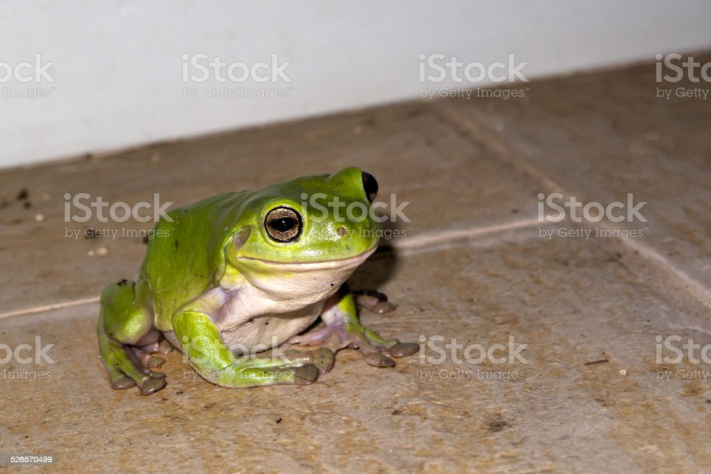 Green frog on tiles stock photo
