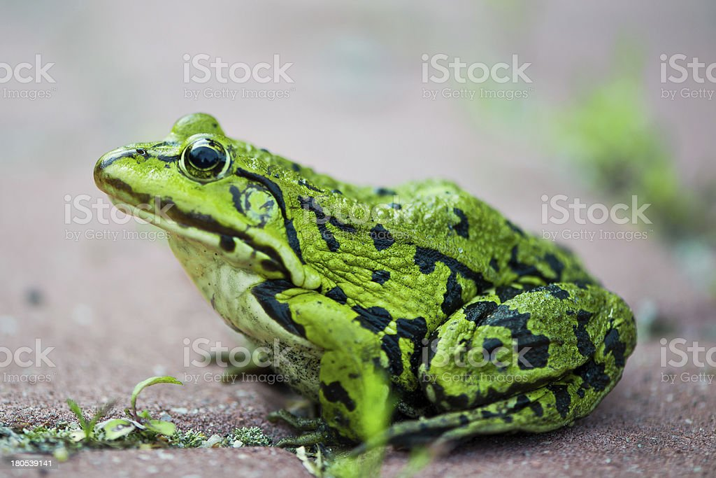 green frog Pelophylax lessonae royalty-free stock photo