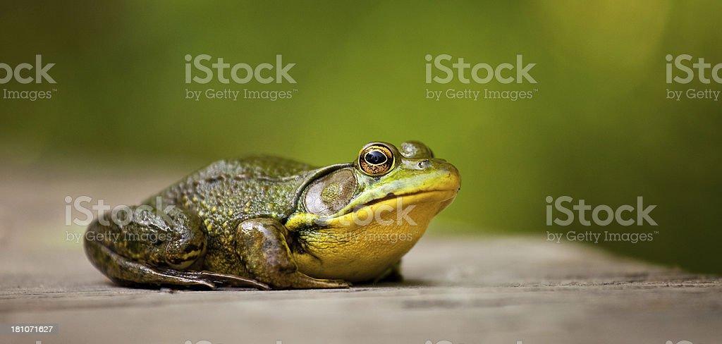 Green Frog (Rana clamitans) royalty-free stock photo