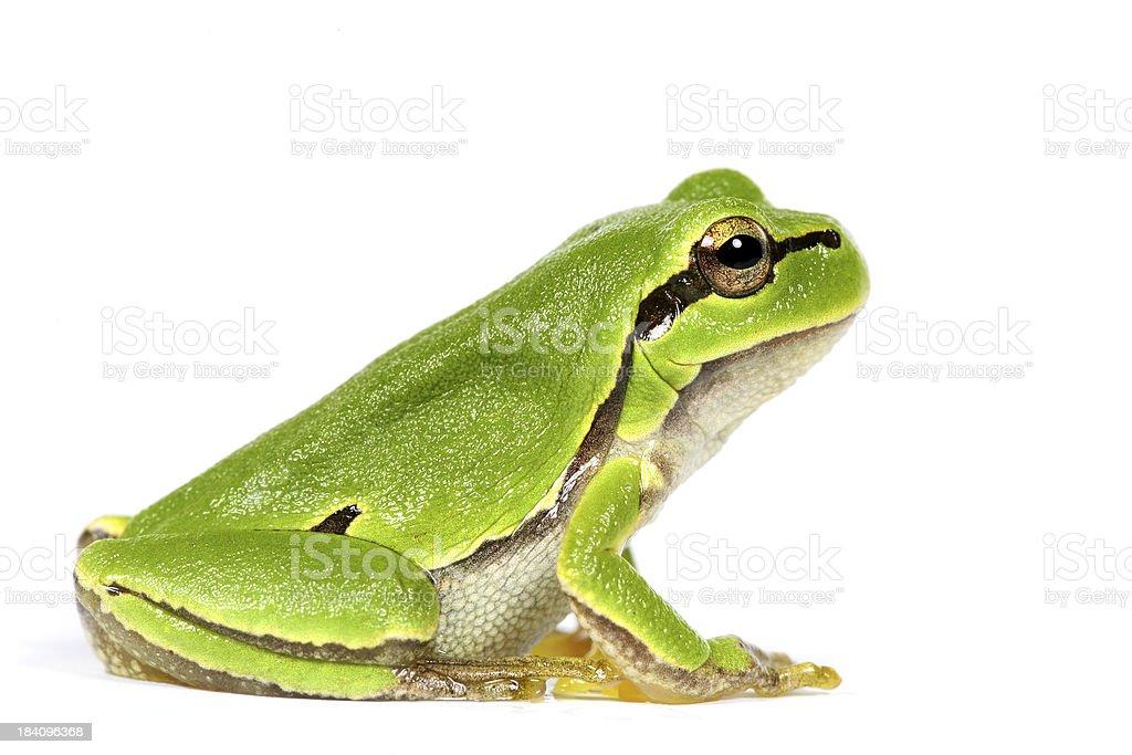 green frog royalty-free stock photo
