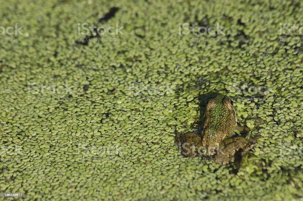 green frog (Pelophylax perezi) royalty-free stock photo