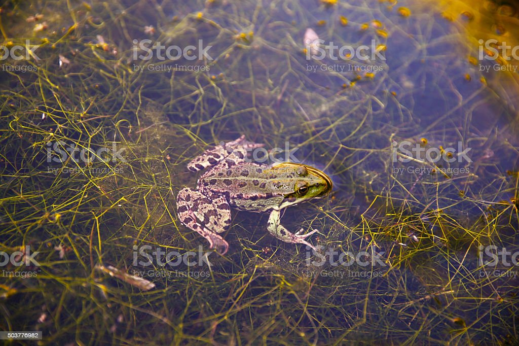 Green frog. stock photo