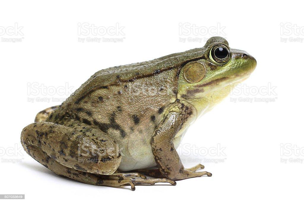 Green frog (Rana clamitans) stock photo