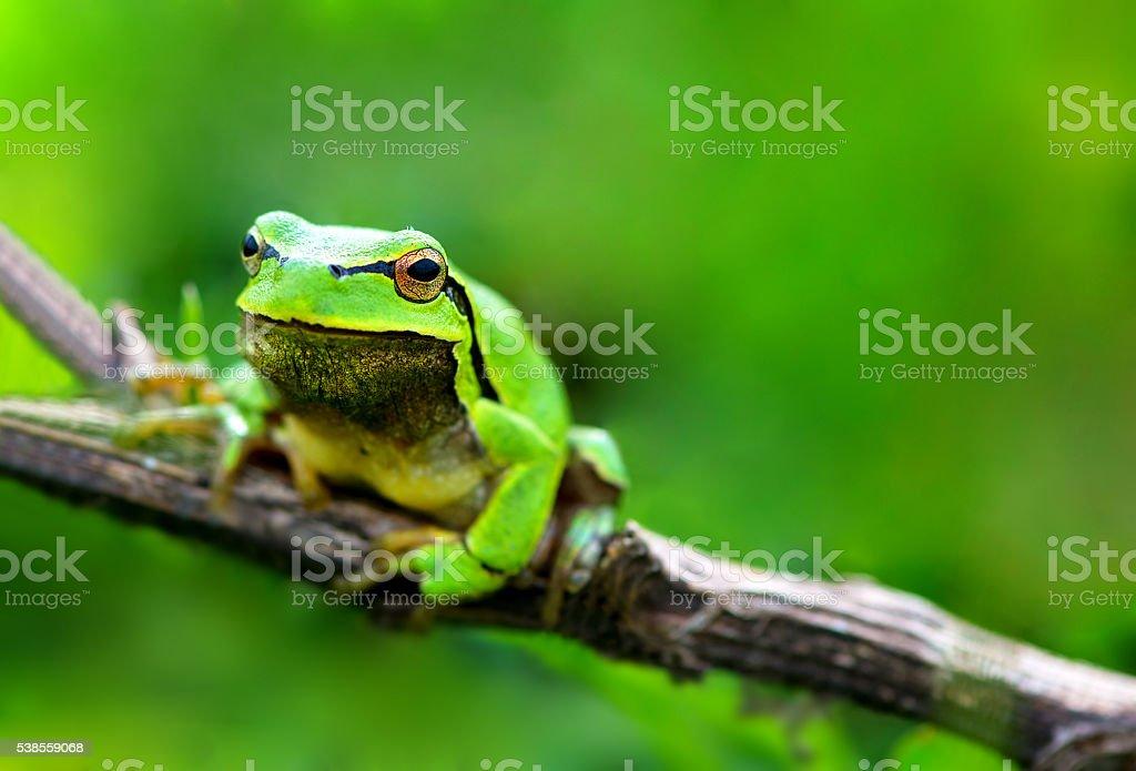 Green frog (Rana ridibunda) stock photo