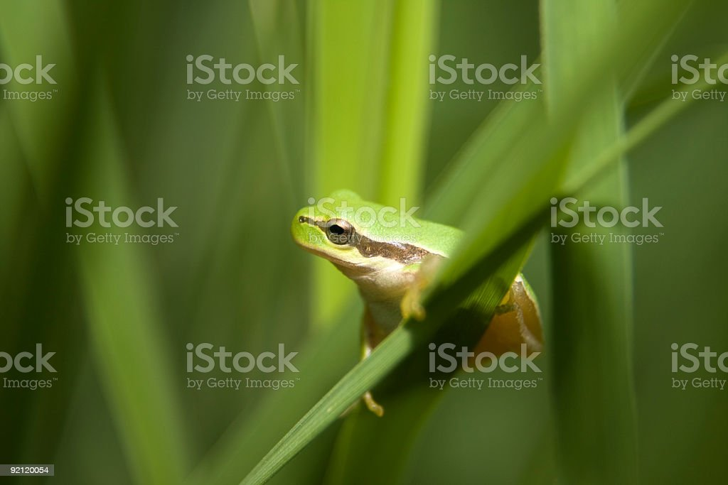 green frog royalty-free stock photo