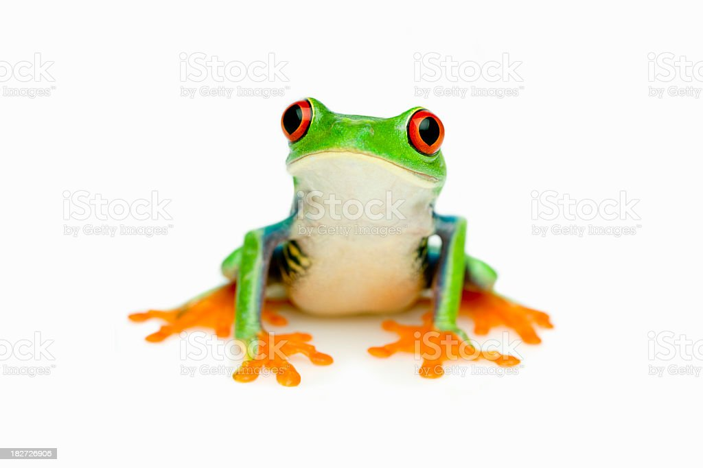 Green Frog Portrait royalty-free stock photo