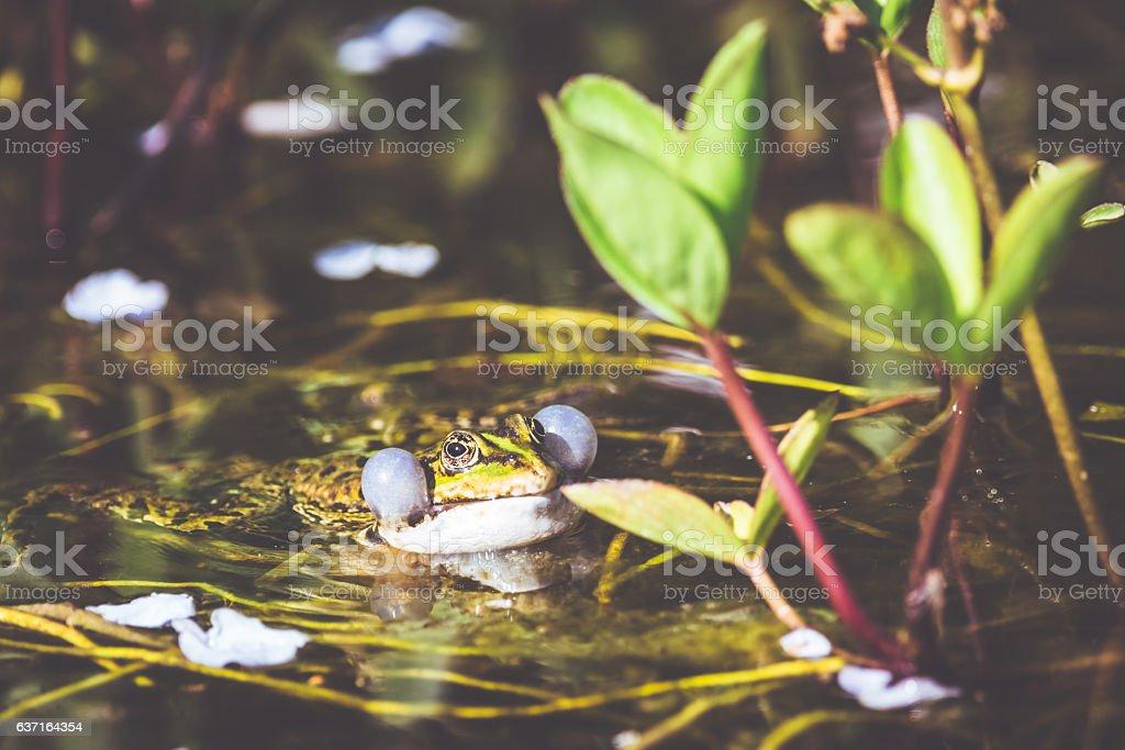 Green frog [Rana kl. esculenta] stock photo