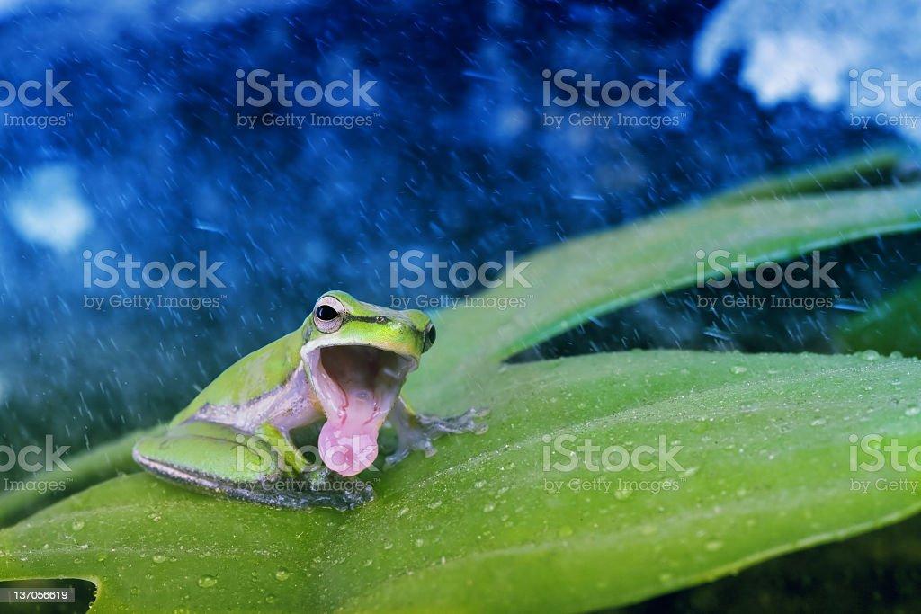 Green Frog Singing stock photo