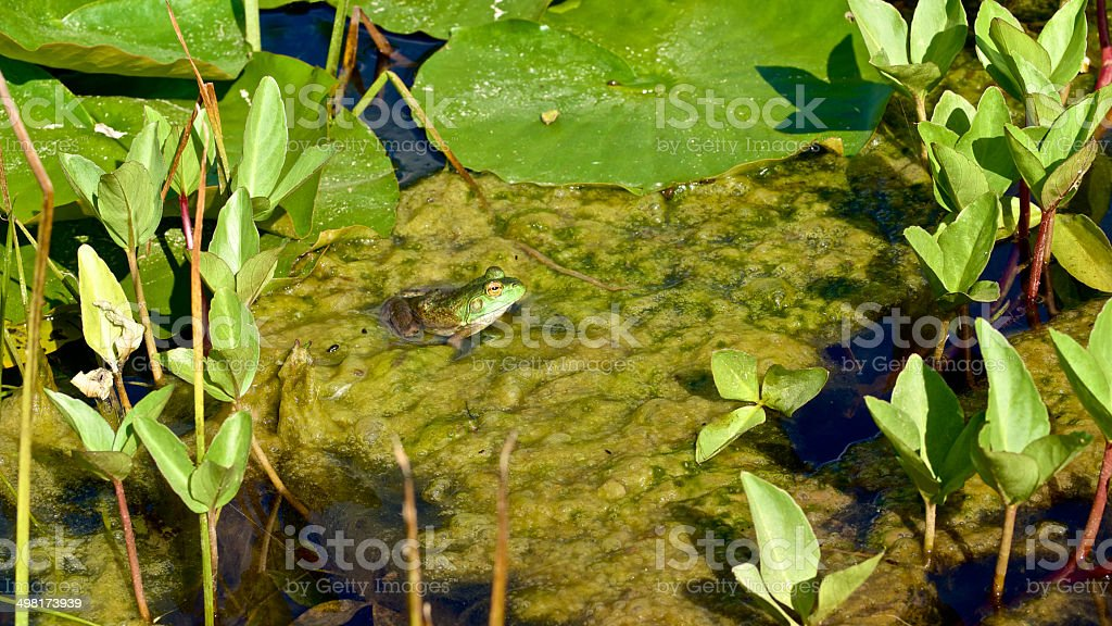 Green Frog Sitting in Pond Water Lily Pad Oregon Garden stock photo
