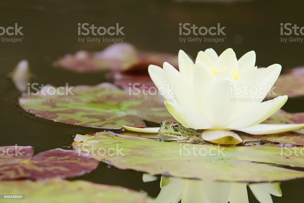 Green Frog under Water Lily stock photo
