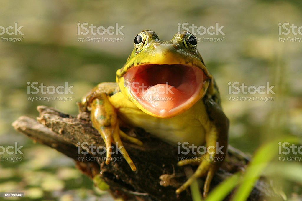 Green Frog (Rana clamitans) with Mouth Open, Pinery Provincial Park stock photo