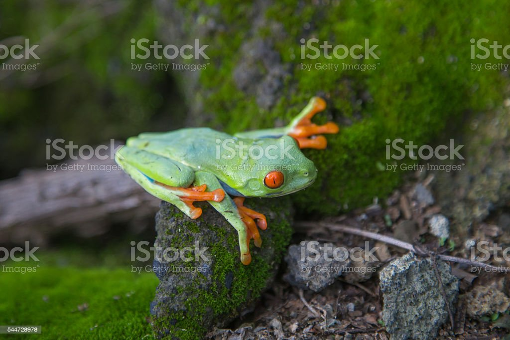 green frog with red eyes from Nicaragua. Agalychnis callidryas stock photo