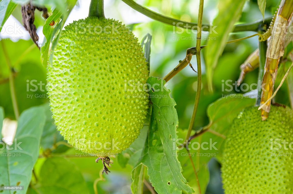 Green Gac fruit stock photo