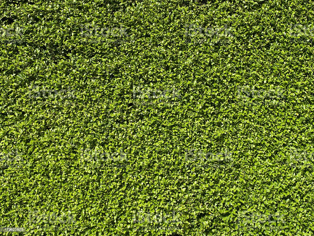 Green garden hedge background royalty-free stock photo