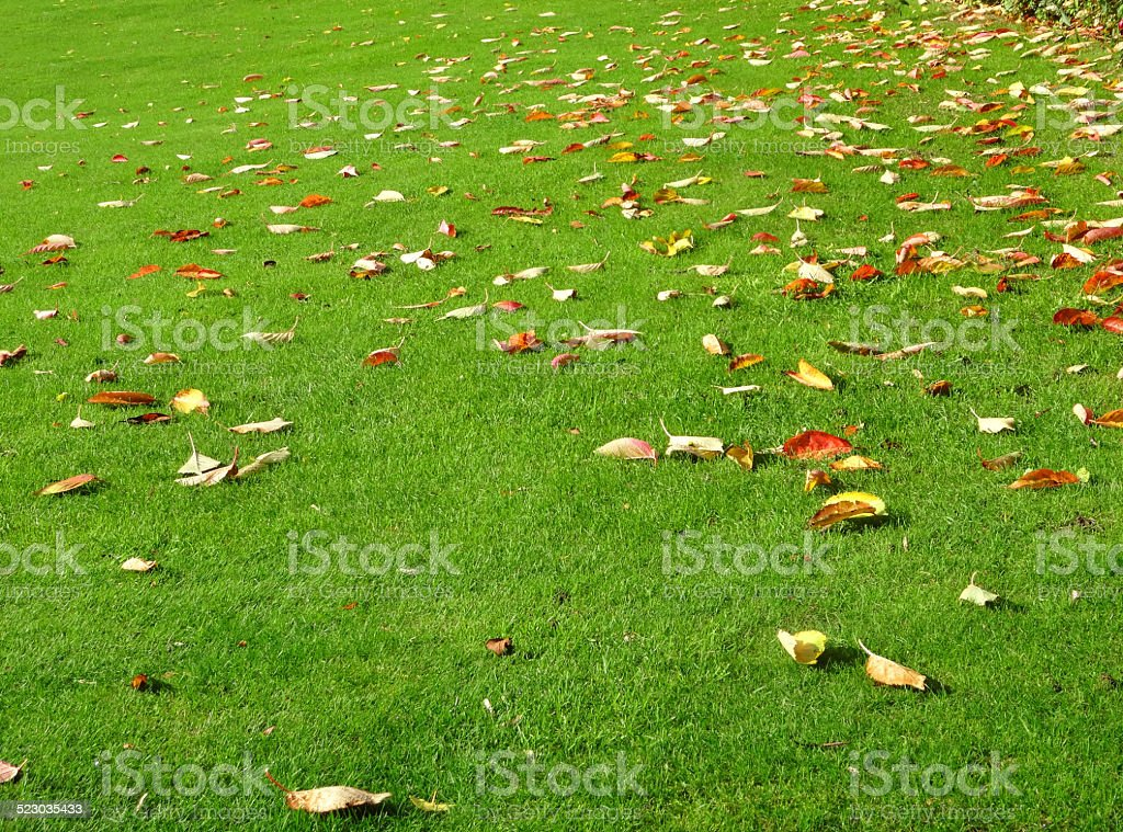Green garden lawn grass in fall, silver-maple tree autumn leaves stock photo