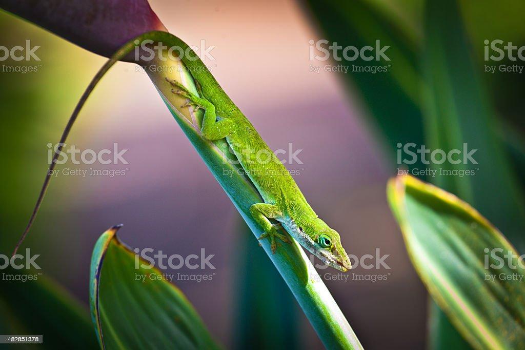 Green Gecko Lizard on Bird of Paradise Flower, Kauai, Hawaii stock photo