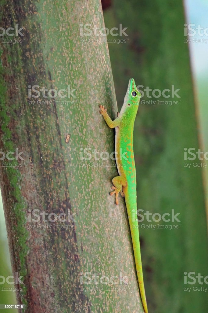 Green gecko on a trunk stock photo