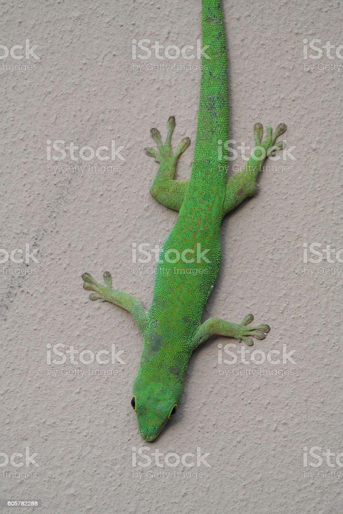 Green gecko on the seychelles island stock photo