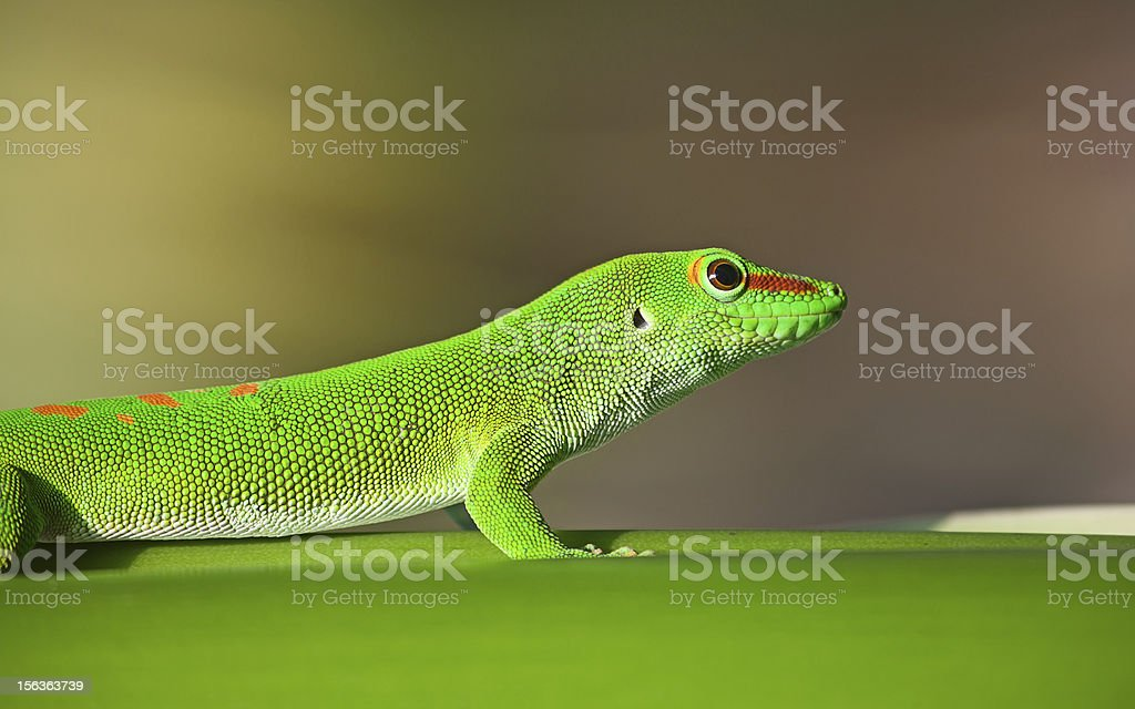 Green gecko royalty-free stock photo