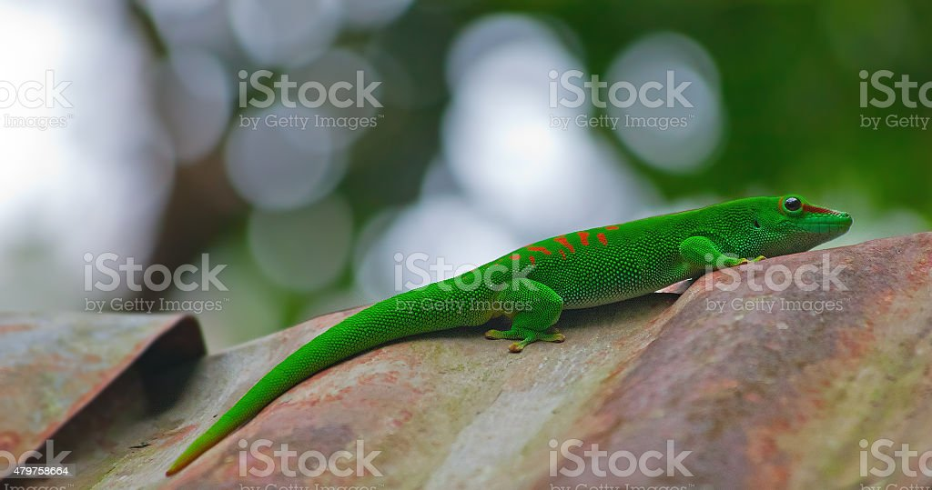 Green gecko stock photo