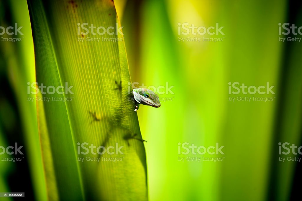 Green Geiko in Natural Tropical Rain Forest stock photo