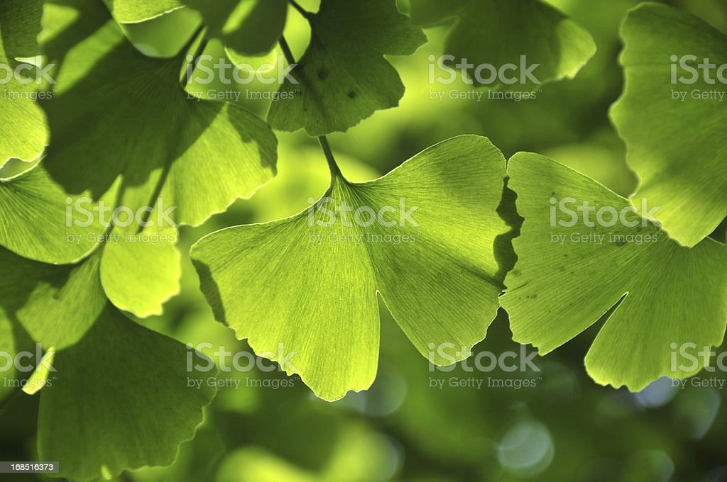 Green ginkgo leaf royalty-free stock photo